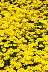 Masses of Yellow Chamomile