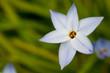 flower(spring_starflower)_06