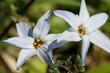 flower(spring_starflower)_09