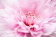 flower[belgian_mum]_01