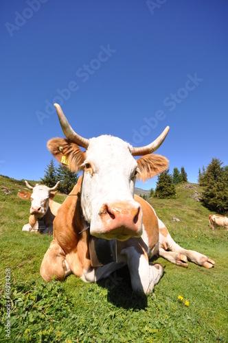 Kuh im Berner Oberland