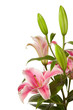 pink  lilies ' bunch  isolated  on a white background