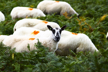 Sheep grazing in the bracon in Wales