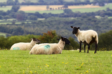 Sheep resting in the Welsh countryside