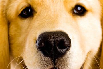 friendly eyes of a golden retriever