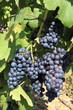grappes de raisin noir