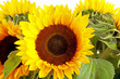 Bouquet of sunflowers in closeup