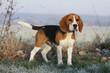beautiful beagle outside in winter