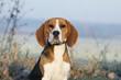 portrait de beagle