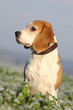 surveillance du beagle