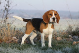 beautiful beagle outside in winter
