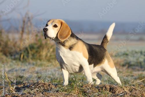 belle posture du beagle