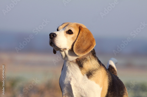 beautiful head of the beagle