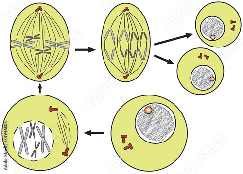 mitosis (cell division)-simple scheme