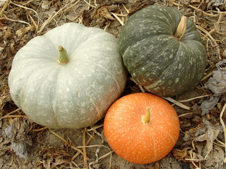 three colorful pumpkins on the ground