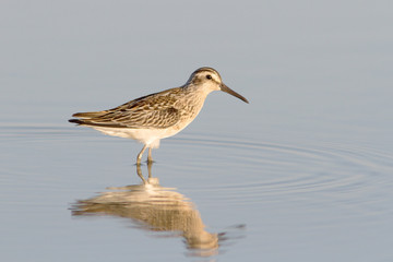 broad-billed sandpiper / Limicola falcinellus