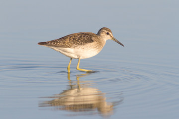 Wood Sandpiper in water with reflection / Tringa glareola