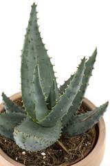 Aloe Vera-1