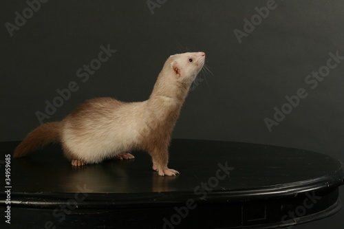 Beautiful funny animal — furry ferret