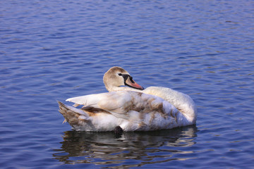 a young mute swan make her toilet. his attitude is soft