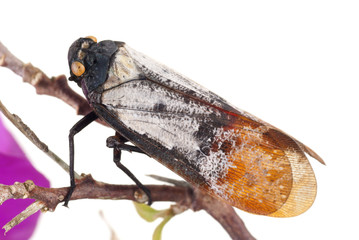 Planthopper - Calyptoproctus sp