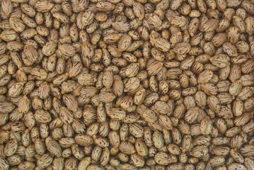 Castor oil plant, Ricinus communis, seeds