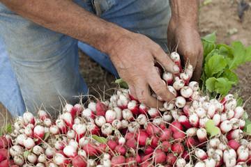 récolte de radis frais