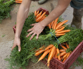 préparation de bottes de carottes