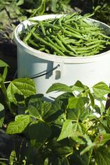 cueillette de haricots verts