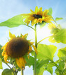 Beautiful sunflowers and the sun as background