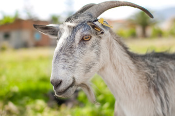 gray domestic goat grazing on summer pasture