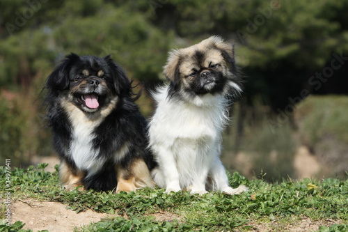 two tibetan spaniel together