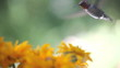 watchful hummingbird in rudbeckia flowers