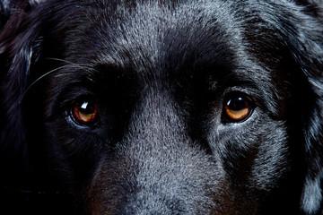 Augen Blick Labrador Retriever Mischling schwarz