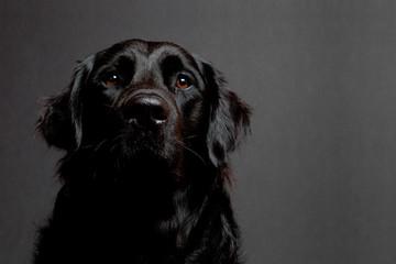 Labrador retriever Mischling schwarz Porträt vor grau