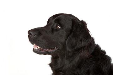 Freundlicher Labrador Retriever Mischling schwarz
