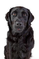 Labrador Retriever Mischling schwarz Porträt
