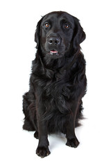 labrador Retriever Mischling schwarz sitzt