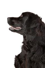 Labrador retriever Mischling im Profil