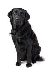 labrador Tetriever Mischling schwarz sitzt