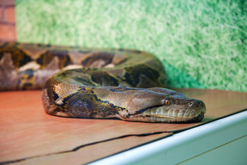 Adult boa, which lies in the aquarium.