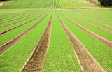 Farmland furrows with new planting in perspective poster