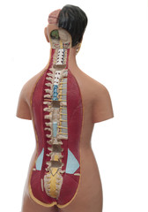 medical model of an human torso