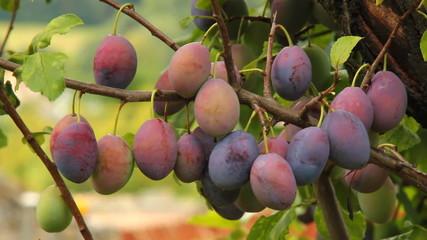 Śliwki dojrzewające na gałęzi