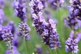 Fototapety Lavendelblüten Nahaufnahme