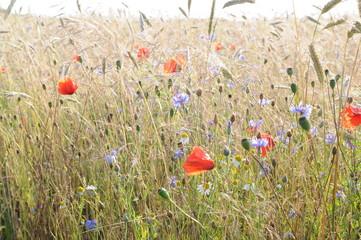 Wildblumen und Kornblumen auf dem Getreidefeld