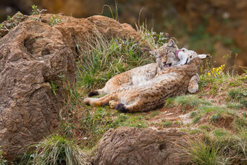 Two eurasian lynxes