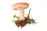 Woolly milkcap mushroom, (lactarius torminosus) poster