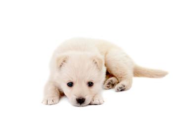 beige puppy
