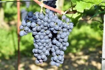 Weintrauben mit Wespe